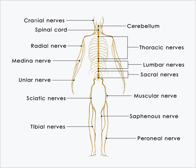 Spinal Anatomy Spine Treatment Boulder Neurosurgical Spine